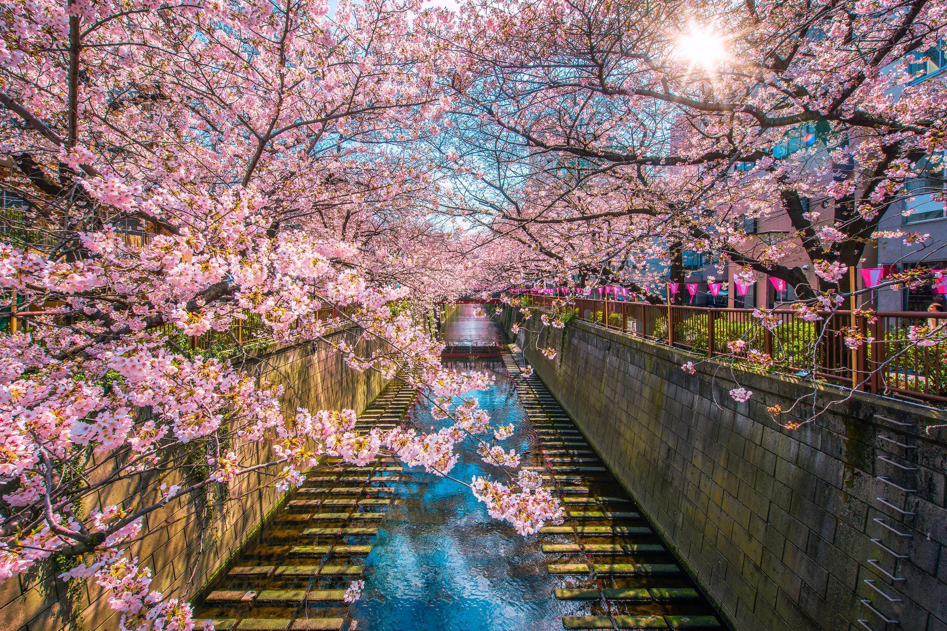 Många vill åka till Japan på våren, när det kan se ut såhär i Meguro Canal i Tokyo, och på flera andra platser.