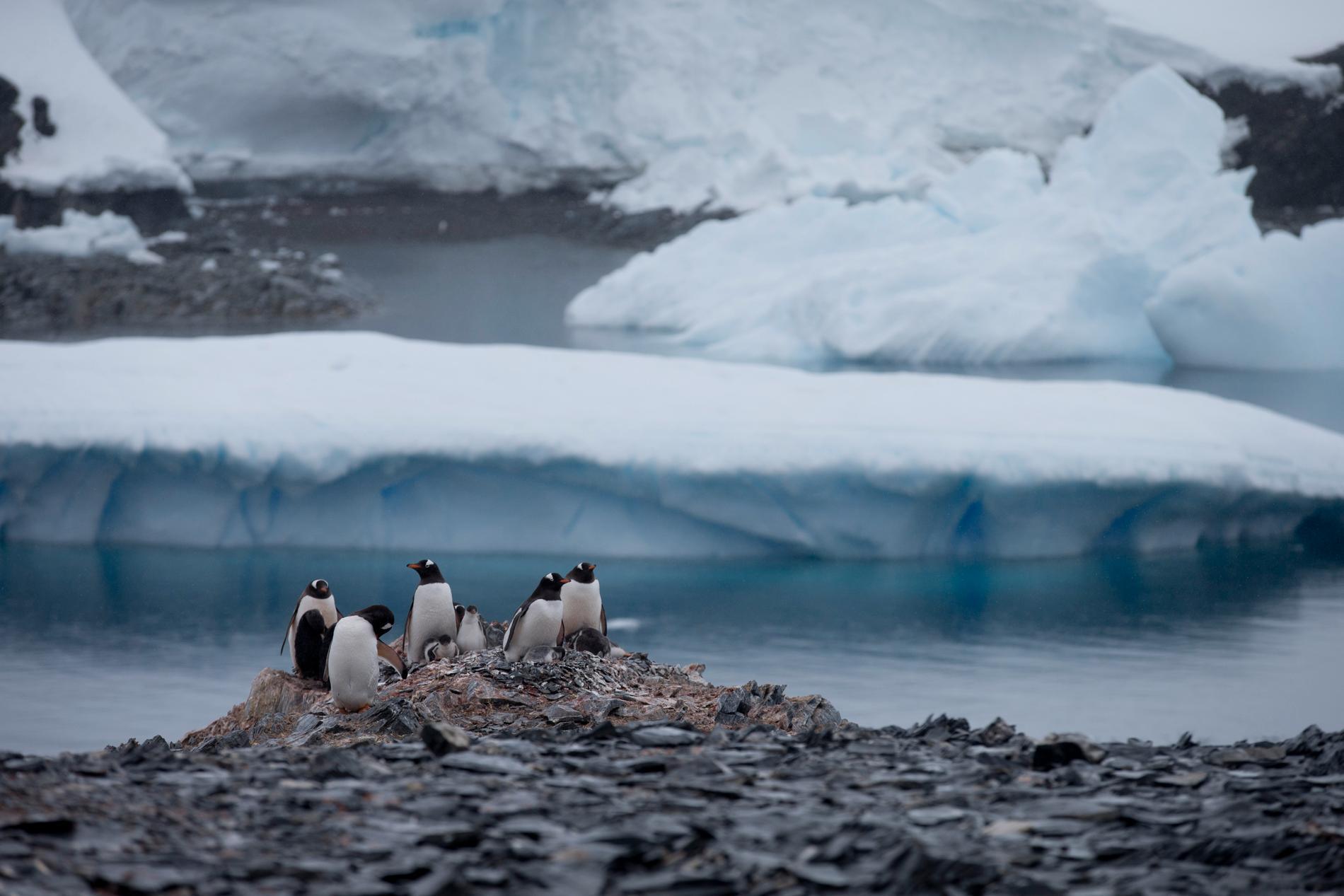 Om glaciärerna smälter hotas även pingvinerna.