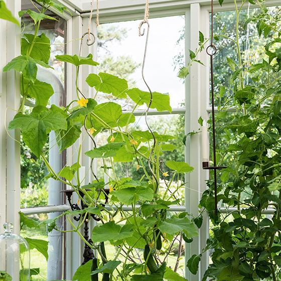 Med hjälp av järnstänger är växterna uppstammade så att det blir lättare att både sköta om och att skörda.
