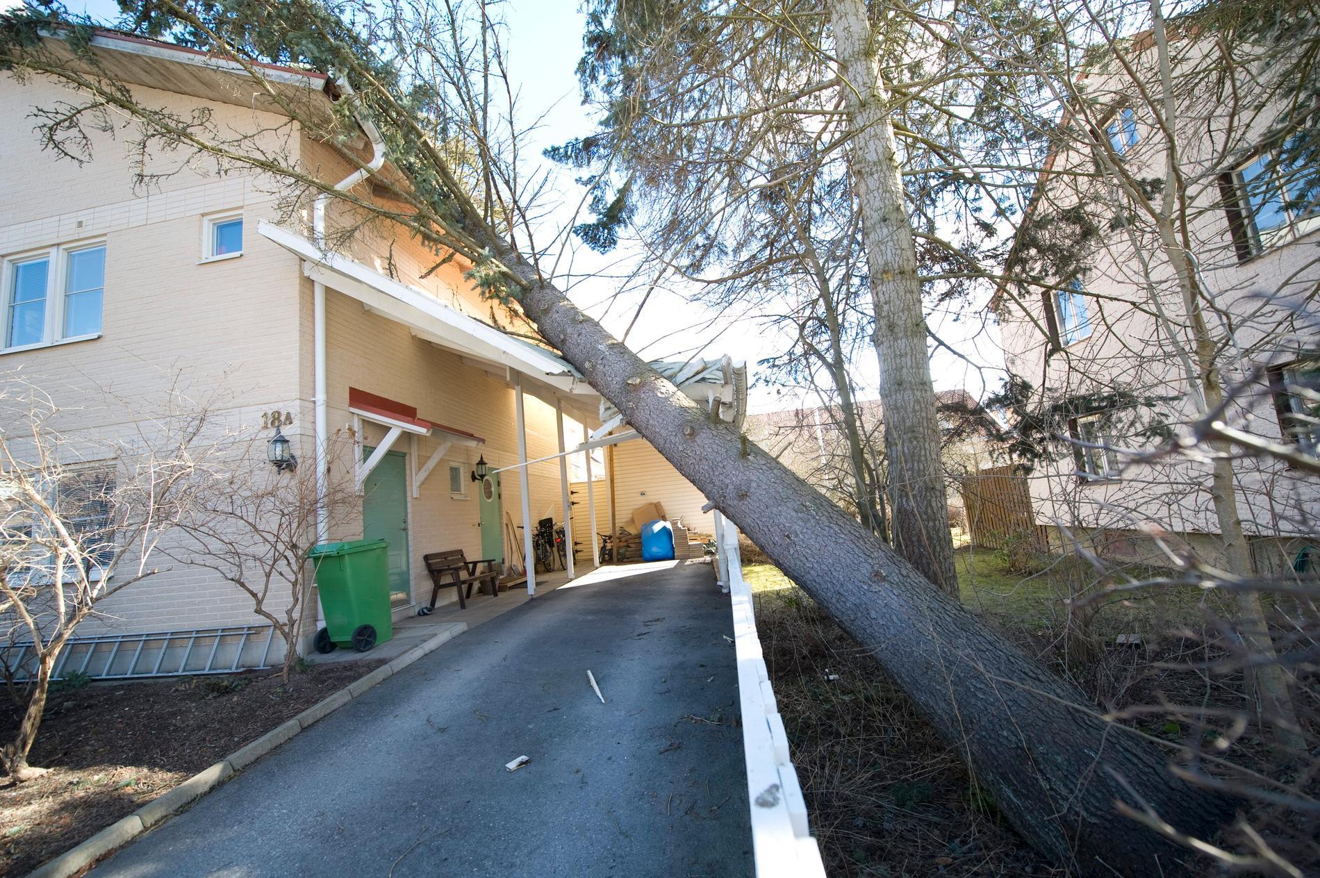 Försäkringen betalar skadorna om trädet faller illa. Arkivbild.