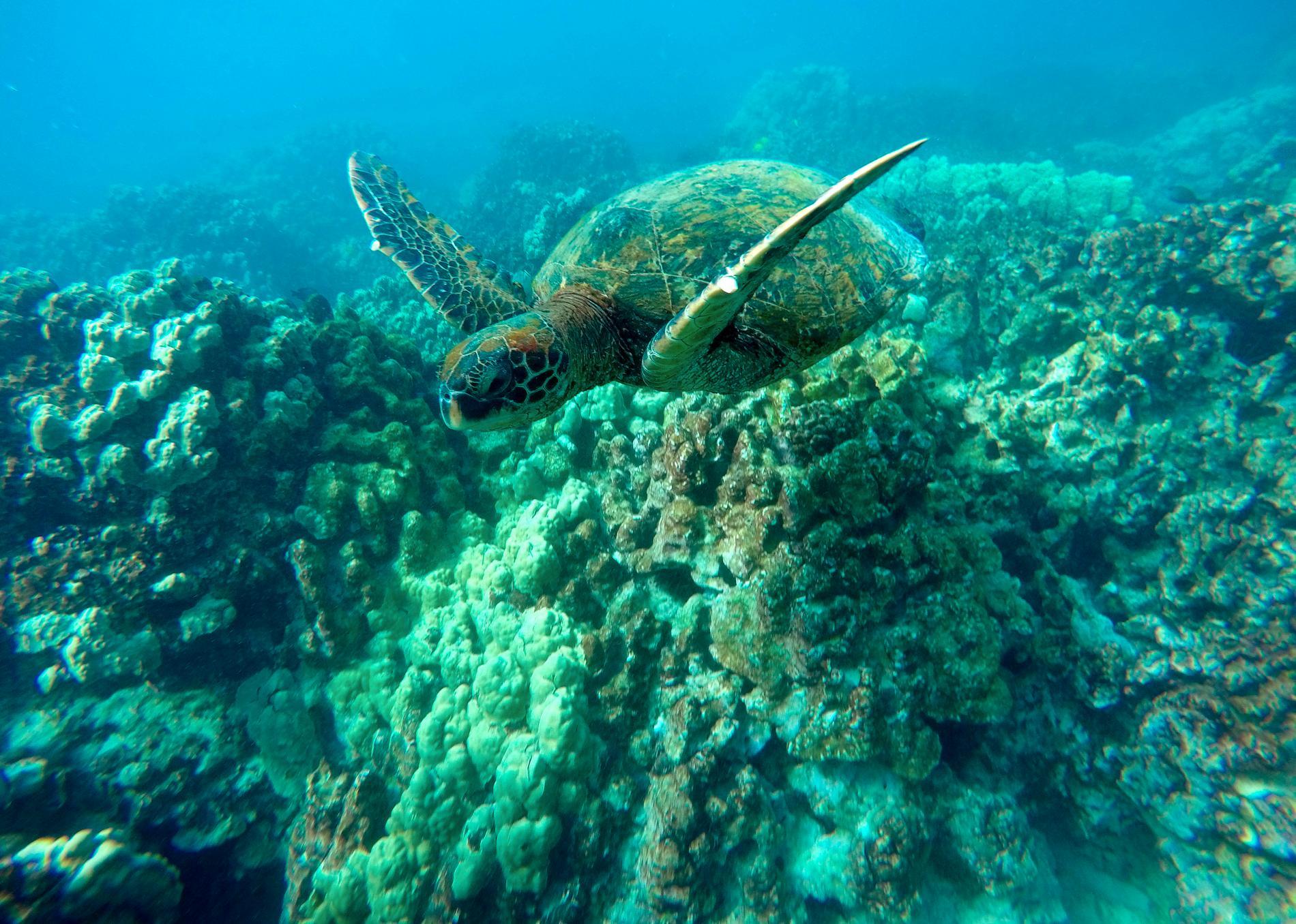Med människor i karantän får havssköldpaddorna hav och ständer för sig själva. Arkivbild.