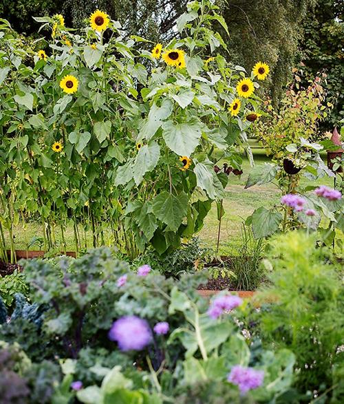 Solrosorna fungerar som staket, men rådjuren har ändå varit flitiga gäster i trädgården.