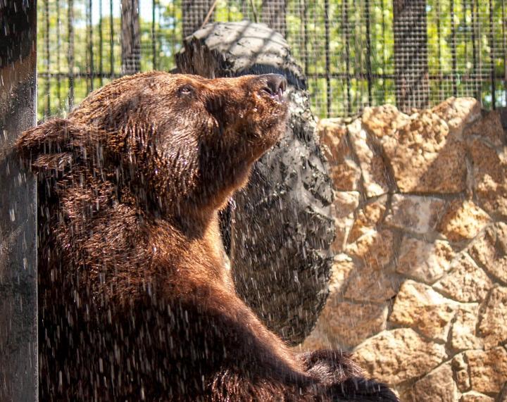 Brunbjörnen Stepan dog av förgiftning i torsdags.