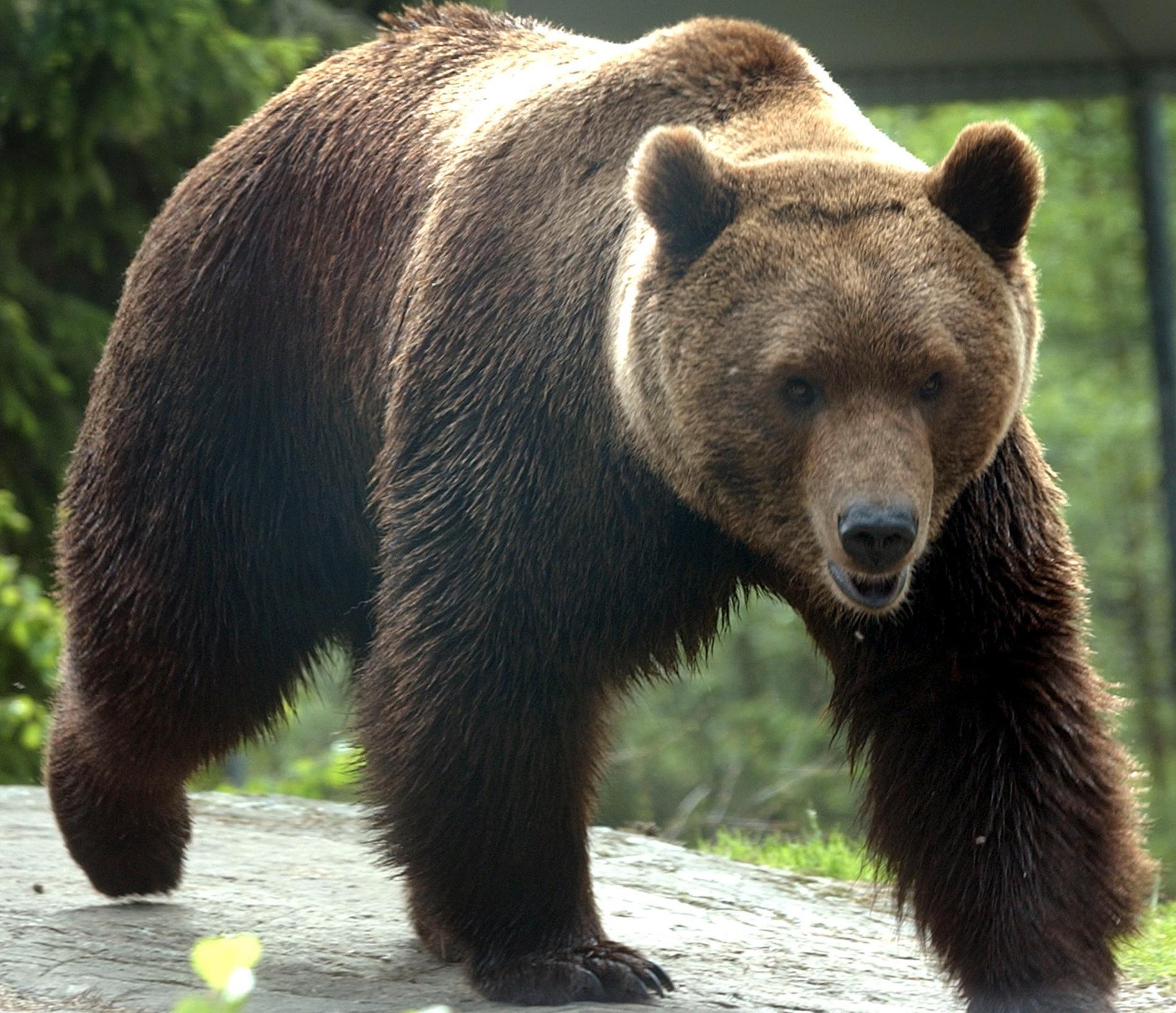 Blynivåerna i svenska björnar tyder på omfattande problem i skogen. Arkivbild.