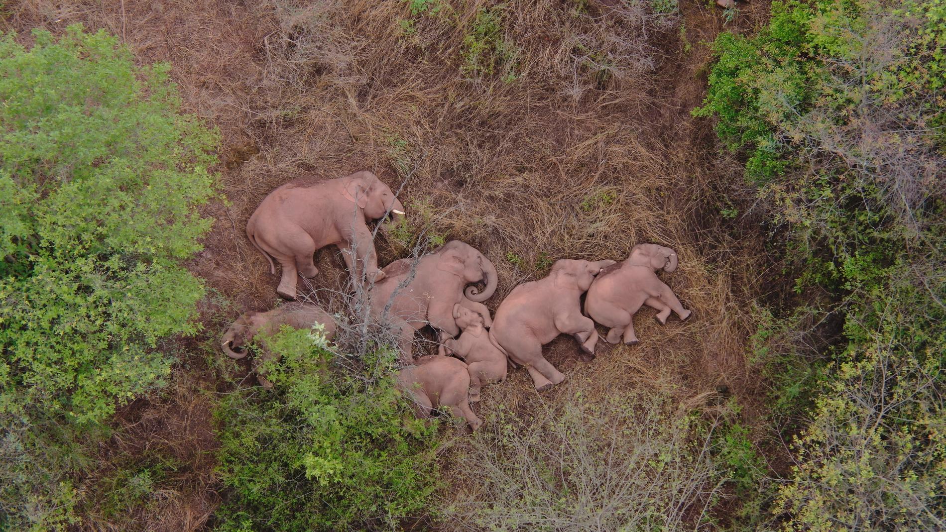 Den migrerande elefantflocken vilar utanför staden Kunming den 7 juni.